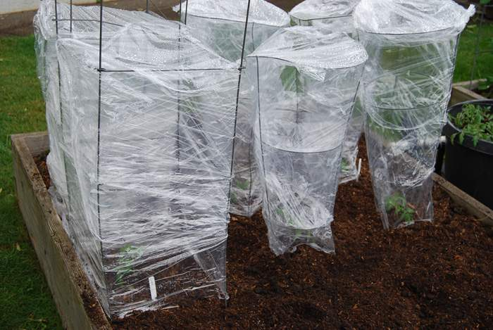 Tomato Cages Wrapped