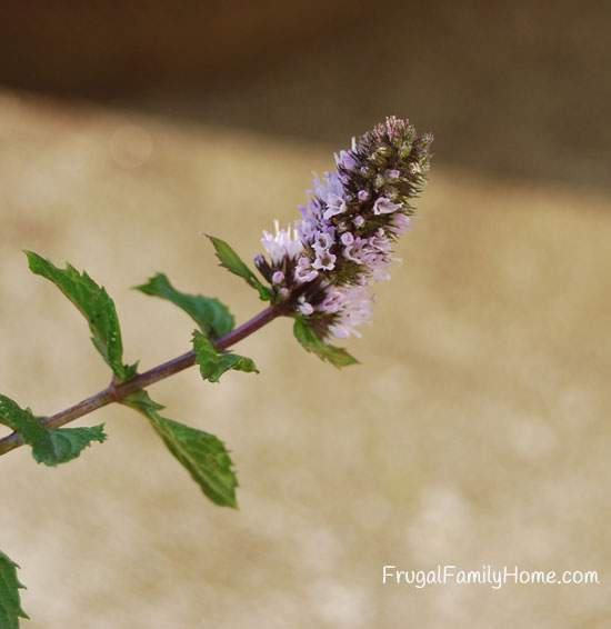 Flowers on Mint Plant