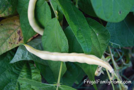 Bush Beans for Seed Saving