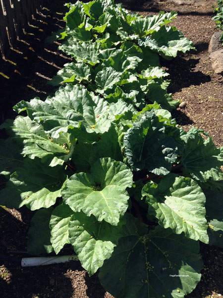 April Garden Update, The rhubarb is growing good.