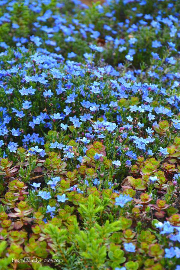 Blue carpet of flowers.