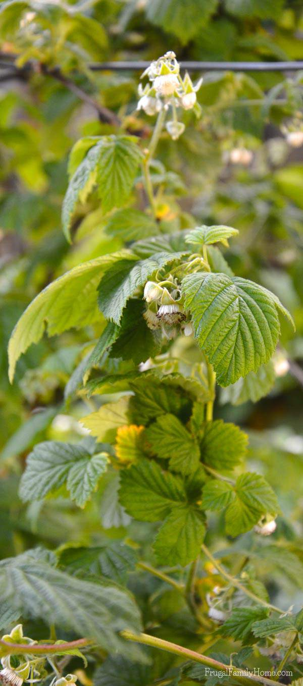 Raspberries are starting to get some flowers on them.
