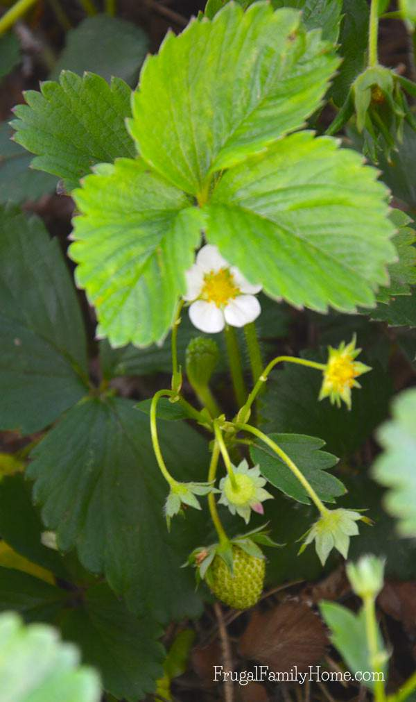 Our strawberries are starting to grow.