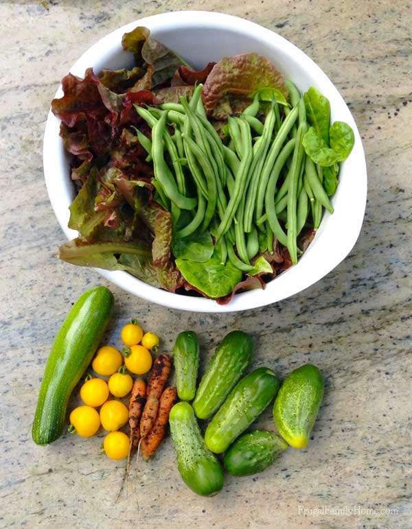 The vegetables I harvested this week from the garden | Frugal Family Home