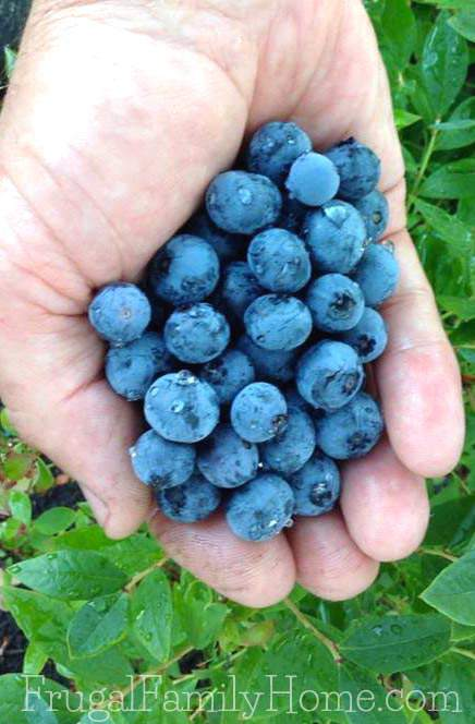 Yummy blueberries from our garden | Frugal Family Home