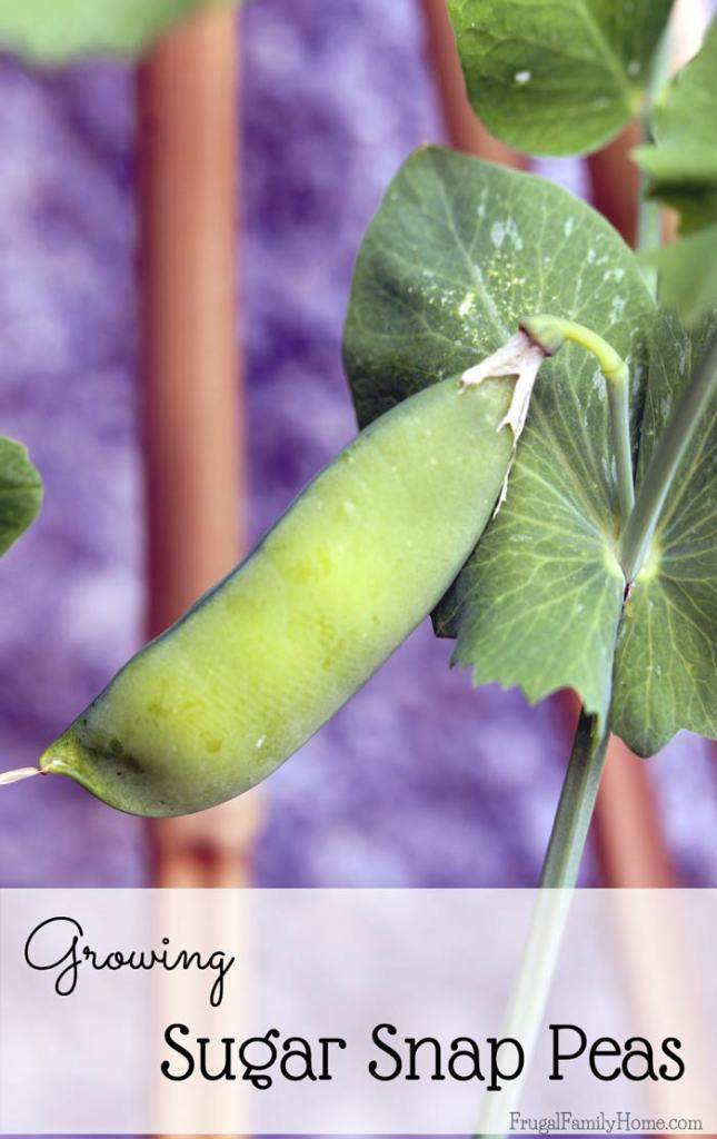 Growing sugar snap peas, a guide to growing these great tasting peas in your own garden.