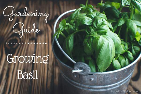 Growing Basil? Here's a gardening guide for everything you need to know about growing basil.
