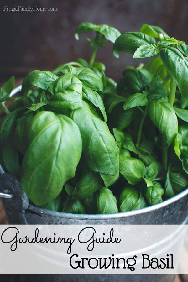 Want to grow basil? Here's a gardening guide for everything you need to know.