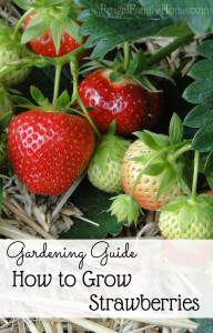 Gardening Guide, How to Grow Sweet Strawberries