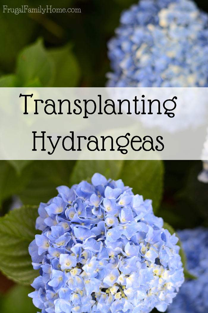 I love hydrangeas. They make so many huge bloom and even the leaves are quite beautiful. We now have three in our garden. We started with one and through transplanted we have now multiplied it to three, in two different colors too. I really love the lavender color of our smallest one.
