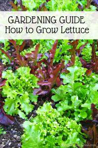 Garden Guide, How to Grow Lettuce