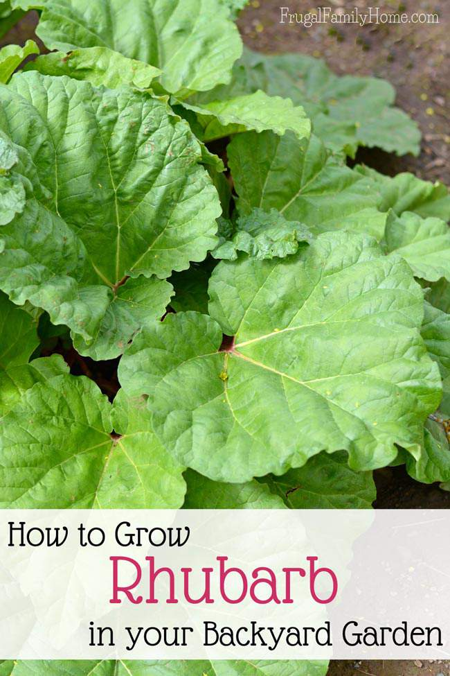 Rhubarb can be a wonderful addition to your backyard garden. It's fairly easy to grow especially in the cooler climates. Here're all the tips you need to know to help your rhubarb plant thrive in your backyard garden.