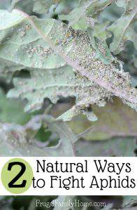 Two Natural Ways to Combat Aphids in the Garden That Really Work