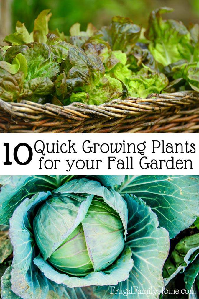 Did you know you can plant vegetables in the garden for a fall harvest? I know I like to extend my garden season and planting for a fall garden is a great way to do just that. Fall gardening is a little different than spring gardening but you can grow quite a few vegetables. I'm sharing the 5 plants I'm adding to my fall garden this year. As well as fall gardening ideas and planting tips. Come see how to grow a fall garden.
