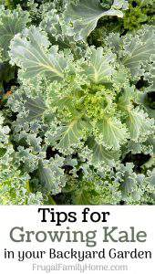 Tips for Growing Kale in Your Backyard Garden
