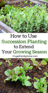 How to Use Succession Planting to Extend Your Growing Season