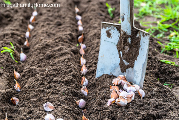 How to plant garlic cloves in the garden