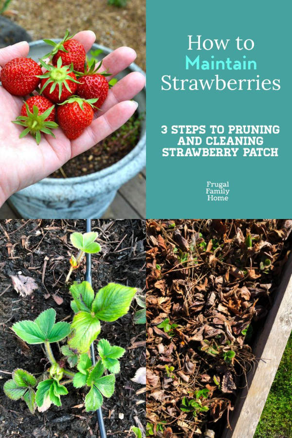 The three steps to clean up a strawberry patch